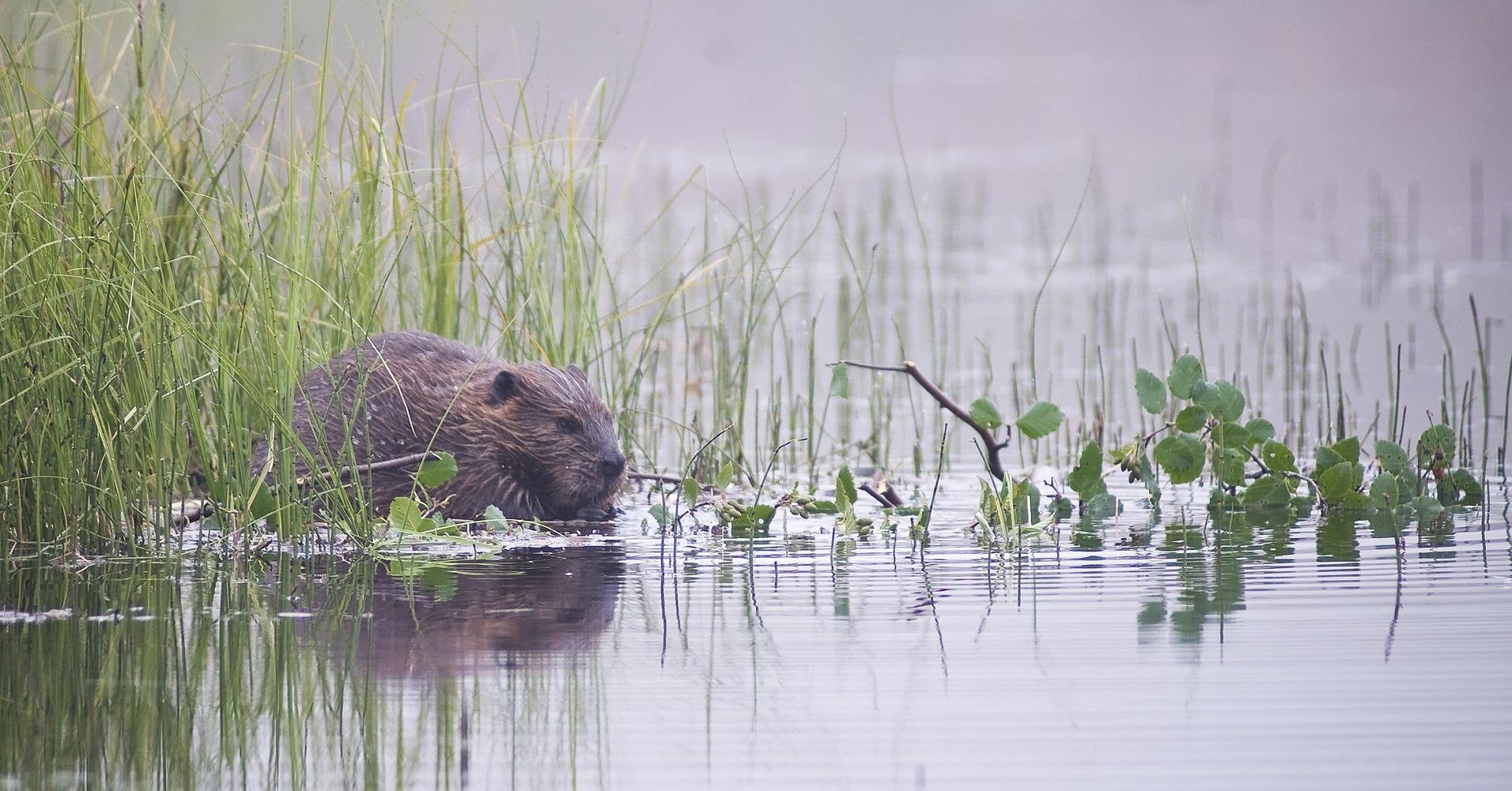 Beaver Safari